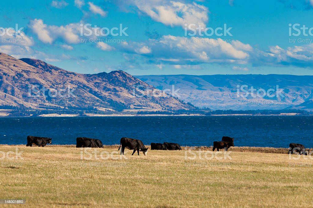 Cattle grazing at Hawea Lake, Southern Alps, NZ royalty-free stock photo