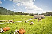 Cattle grazing in fields by house