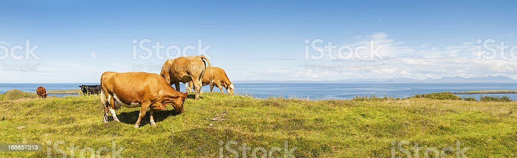 Cattle grazing in picturesque meadow beside blue ocean royalty-free stock photo