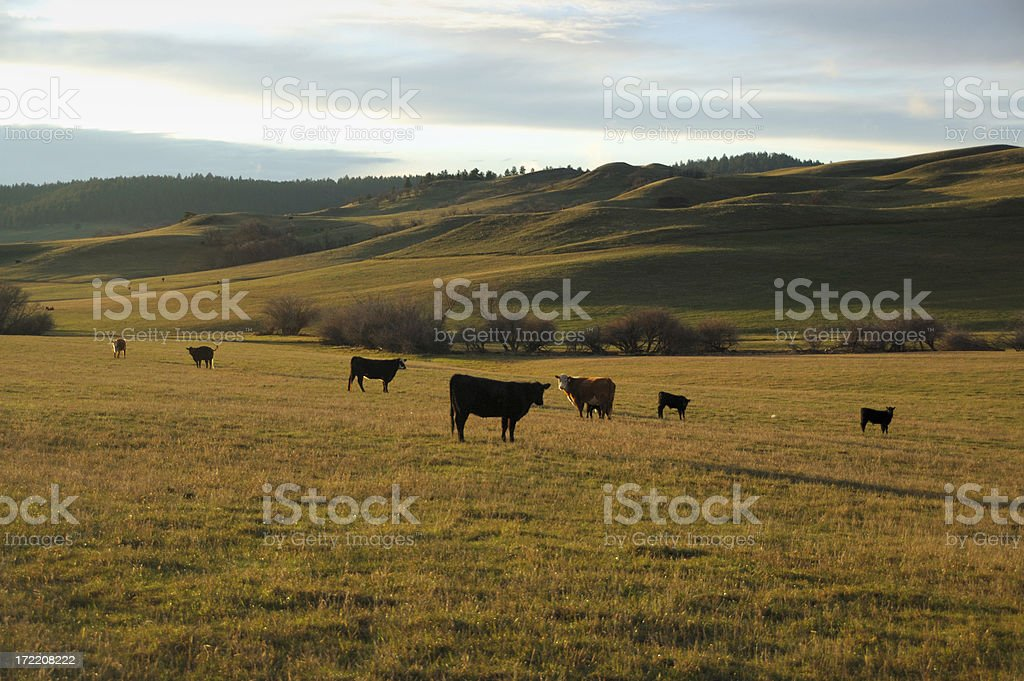 Cattle grazing in rural Wyoming royalty-free stock photo