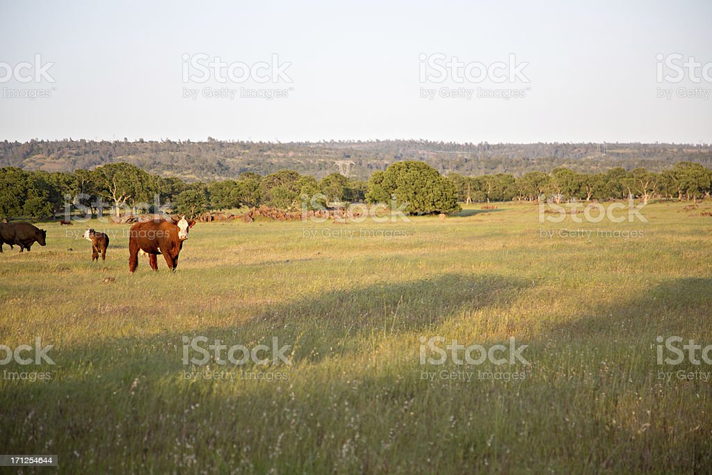 Cattle Grazing In The Field stock photo