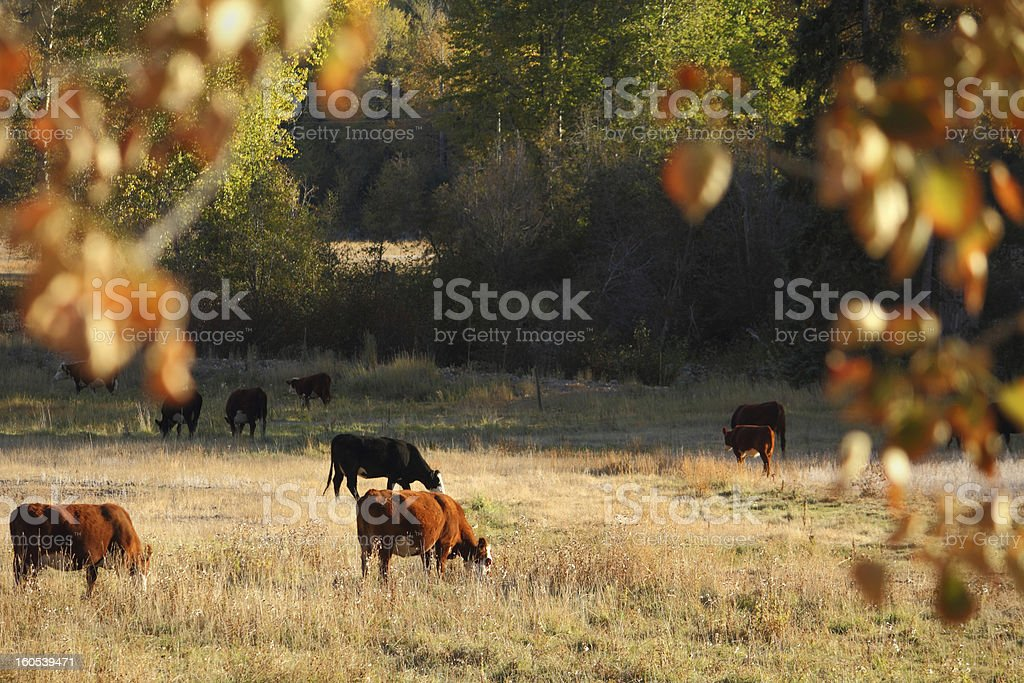 Cattle Grazing, Merritt, British Columbia stock photo