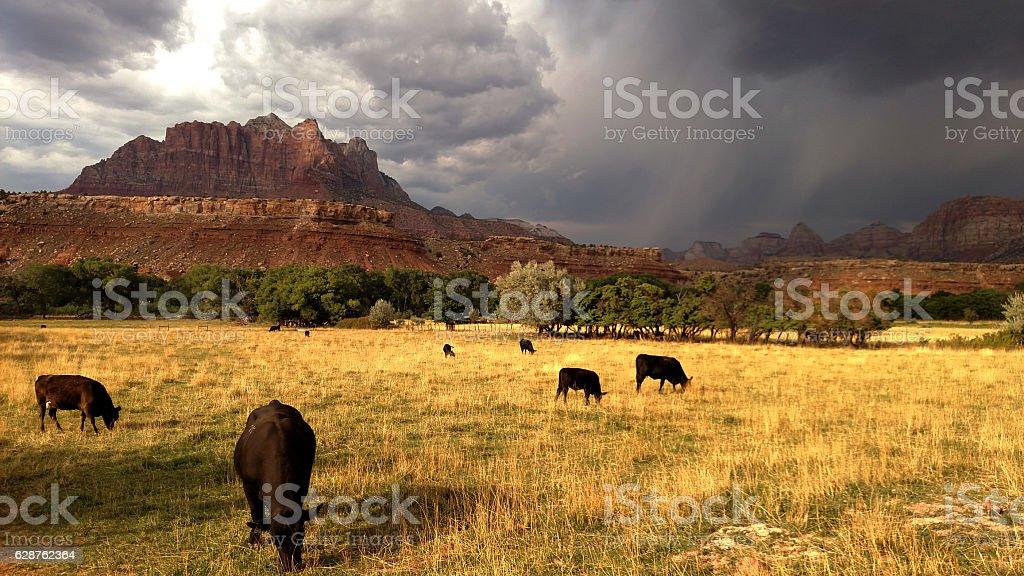 Cattle grazing Mount Kinesava monsoon storms rising above Rockville Utah stock photo