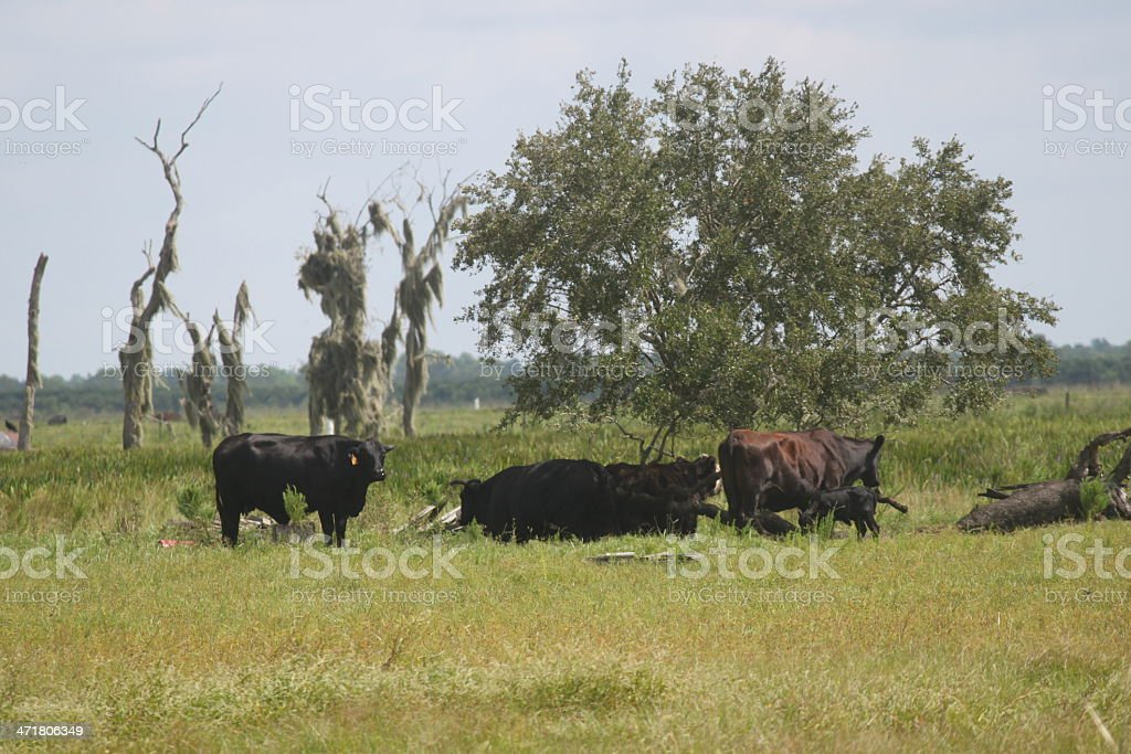 Cattle grazing on farm stock photo