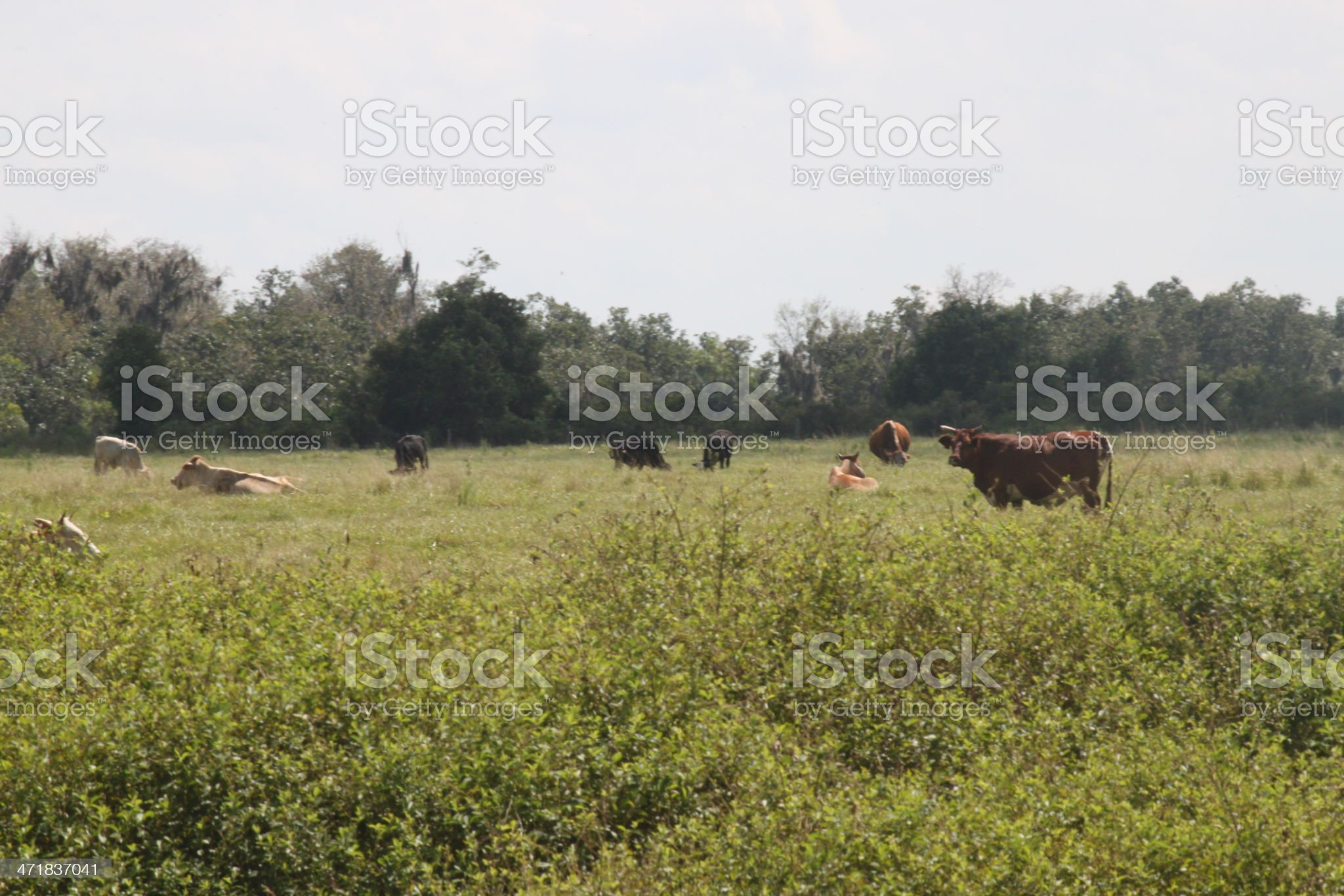 Cattle grazing on farm royalty-free stock photo
