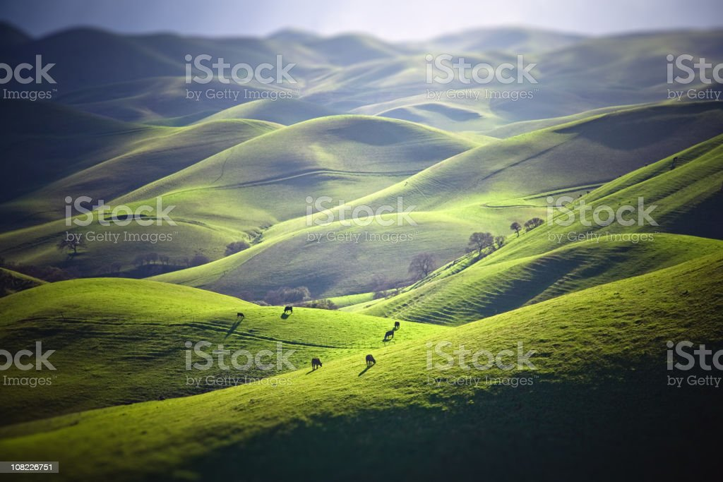 Cattle Grazing on Grassy Hills stock photo