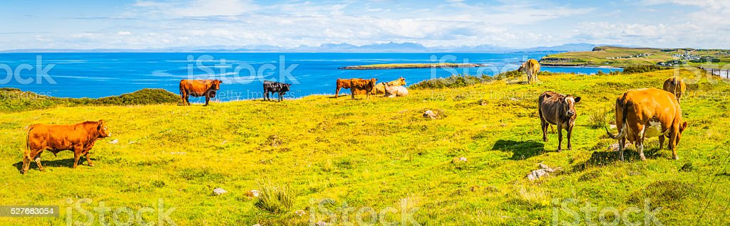Cattle grazing on green pasture beside blue ocean panorama Scotland stock photo