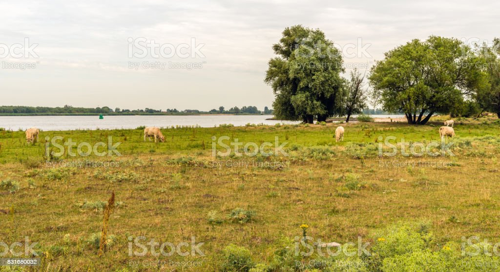 Cattle grazing on the floodplain of a river stock photo