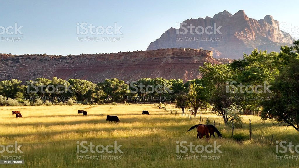 Cattle grazing pastures early summer dramatic morning light Rockville Utah stock photo