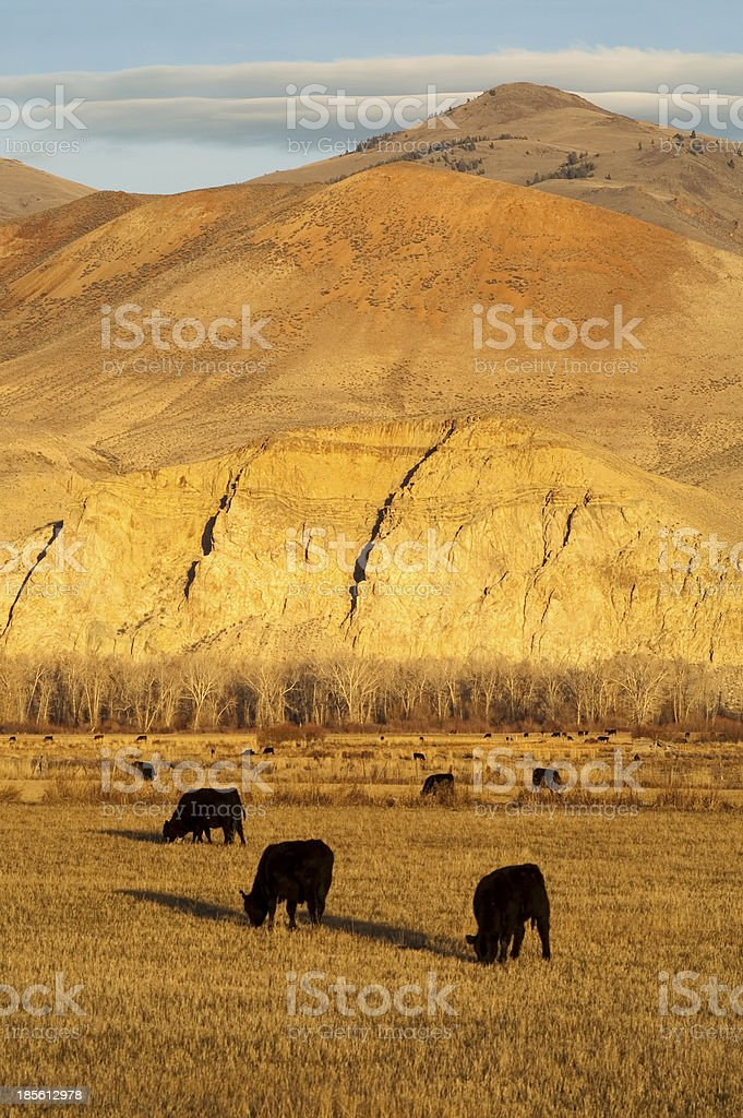 Cattle Grazing Ranch Livestock Farm Animals Western Mountain Land royalty-free stock photo