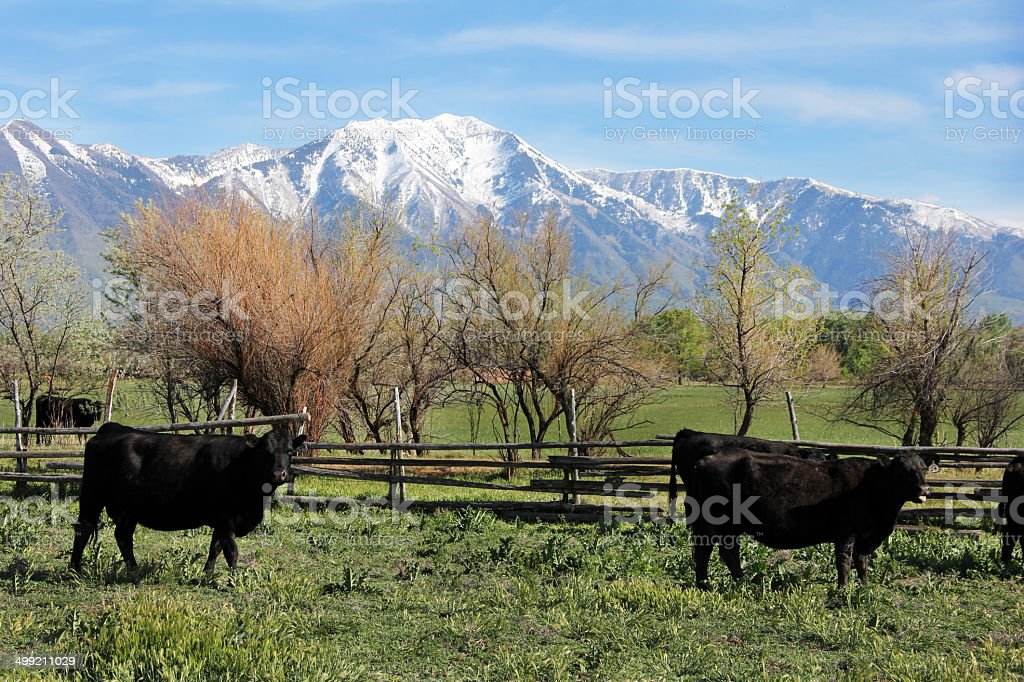 Cattle Grazing With Mountain Background stock photo