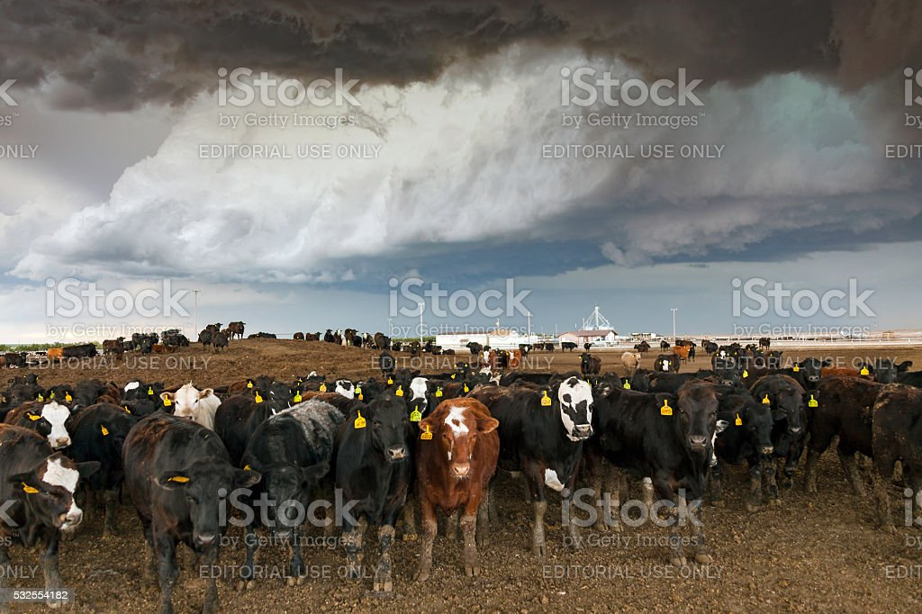 Cattle herd in Colorado feedlot with severe thunderstorm overhead stock photo