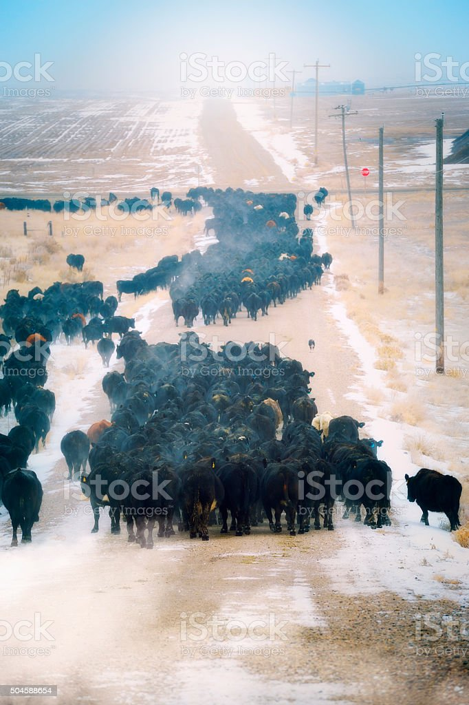 Cattle Herd on Their Way To The Feed Lots stock photo