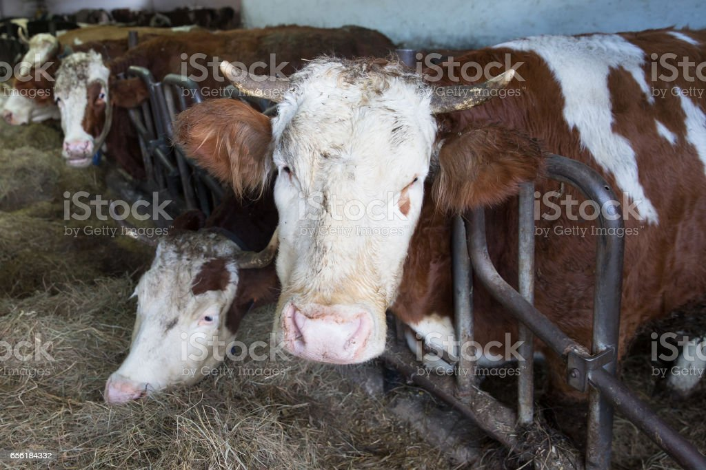 Cattle in a stall on a farm stock photo