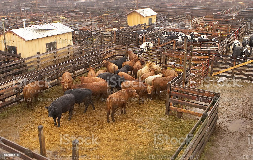 cattle in a stock yard at South, St. Paul Minnesota stock photo