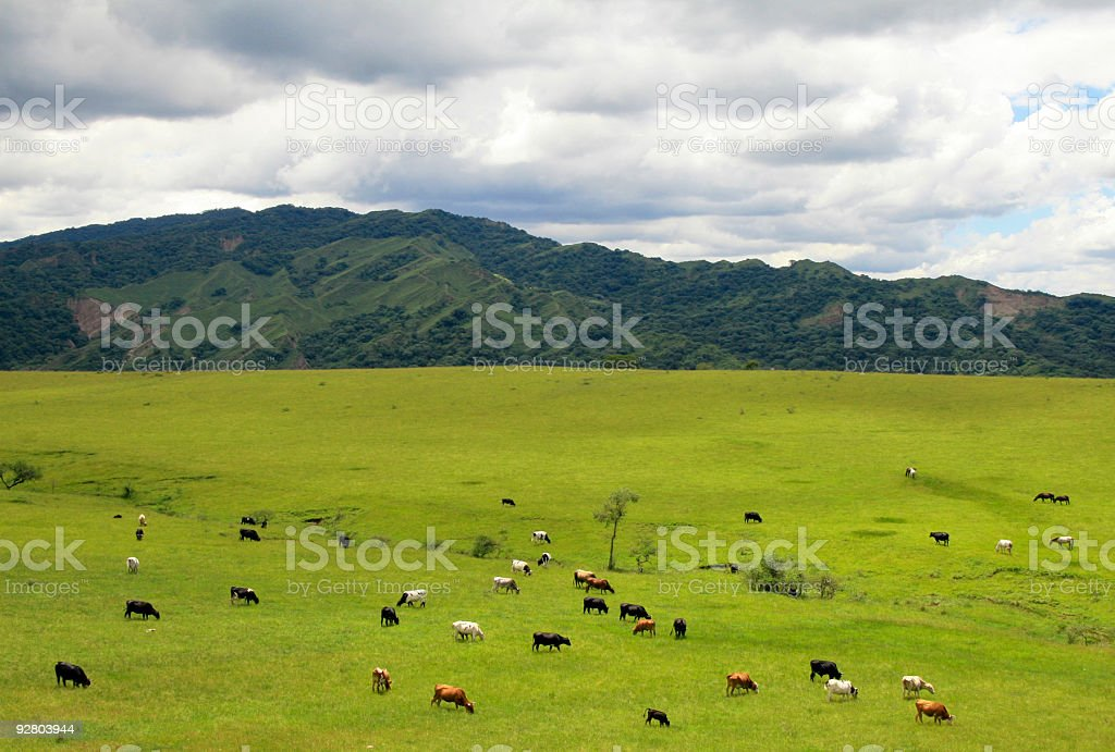 Cattle in Argentina royalty-free stock photo