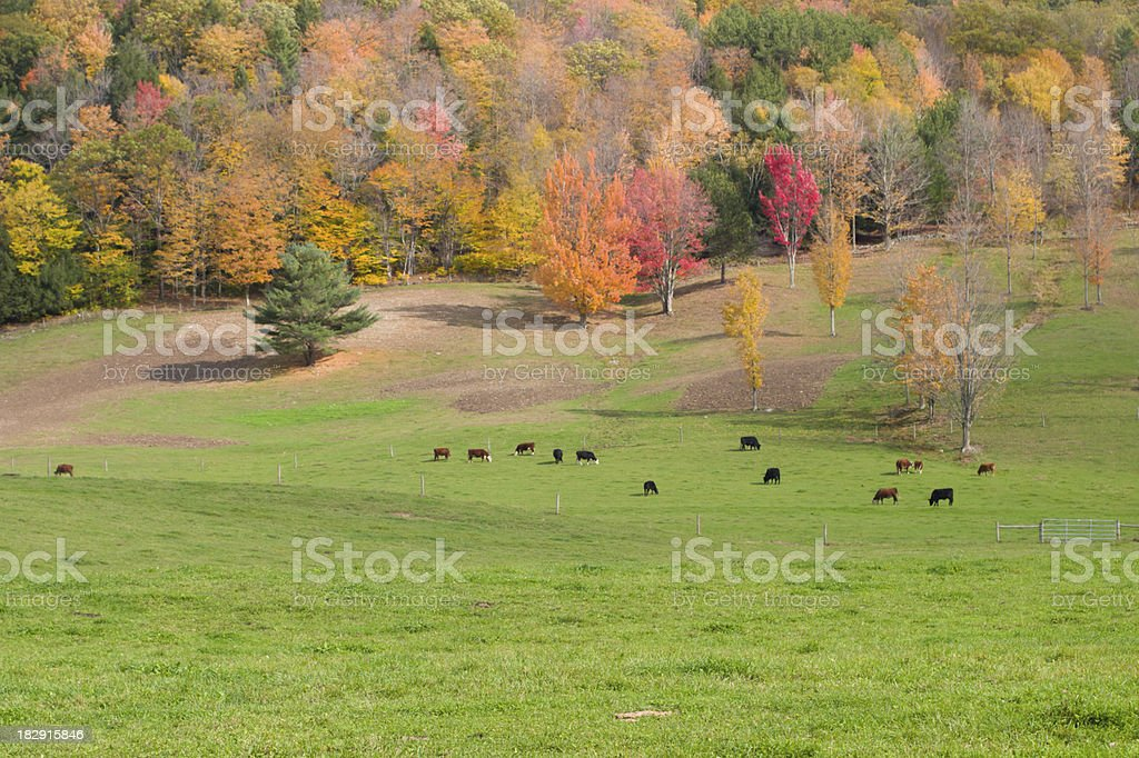 Cattle in Autumn Pasture royalty-free stock photo