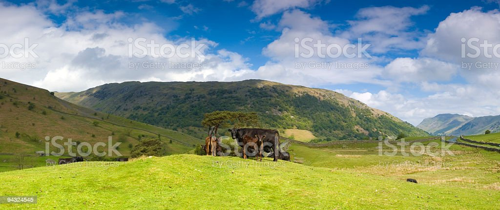 Cattle in bucolic pasture stock photo