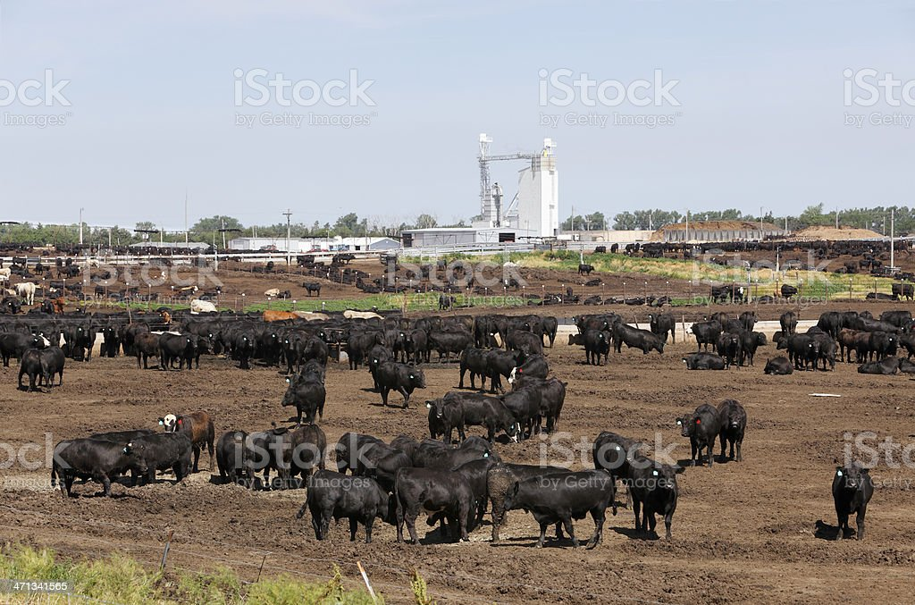Cattle in dry outdoor Kansas feedlot royalty-free stock photo