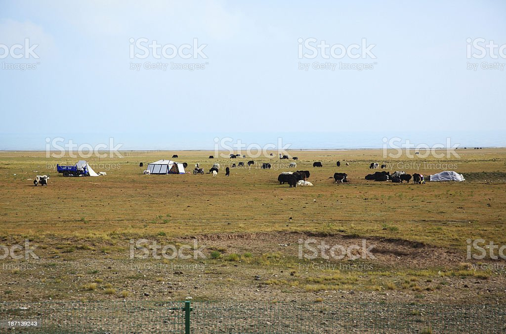 Cattle in dry outdoor royalty-free stock photo