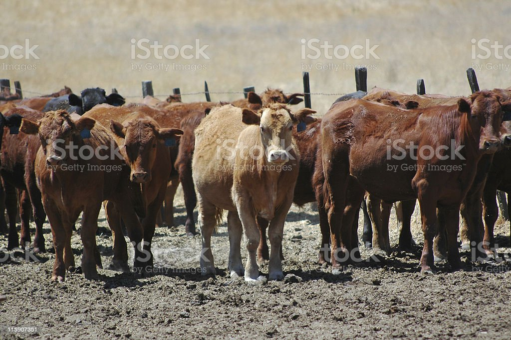 cattle in feed lot stock photo