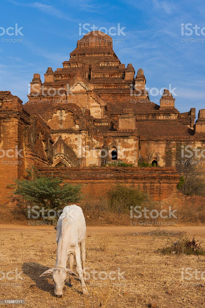 Cattle in front of Buddhist temple, Bagan, Myanmar royalty-free stock photo