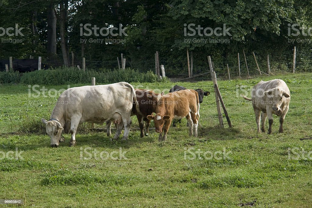 cattle in green pasture royalty-free stock photo