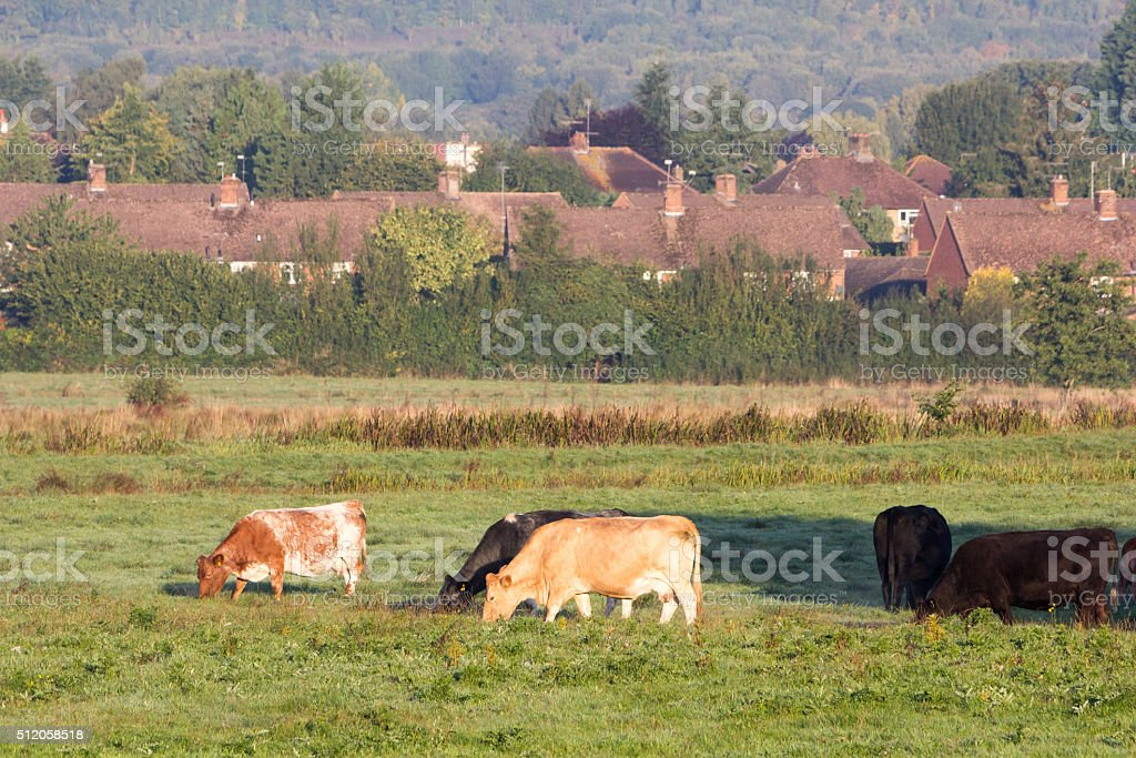 Cattle in Kent, England stock photo