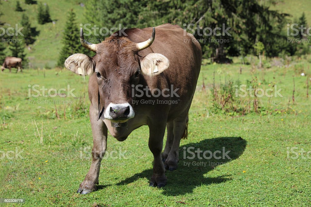 Cattle in Lechtal Valley. Tirol. Austria stock photo