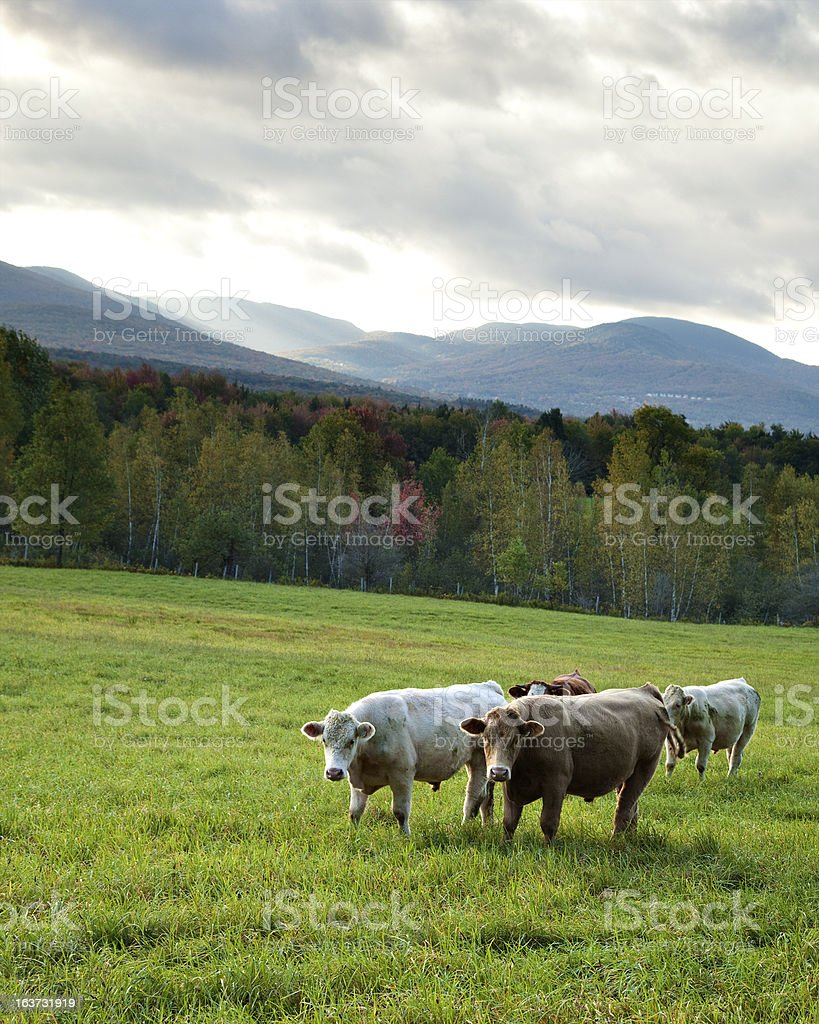 Cattle in meadow with mountains stock photo