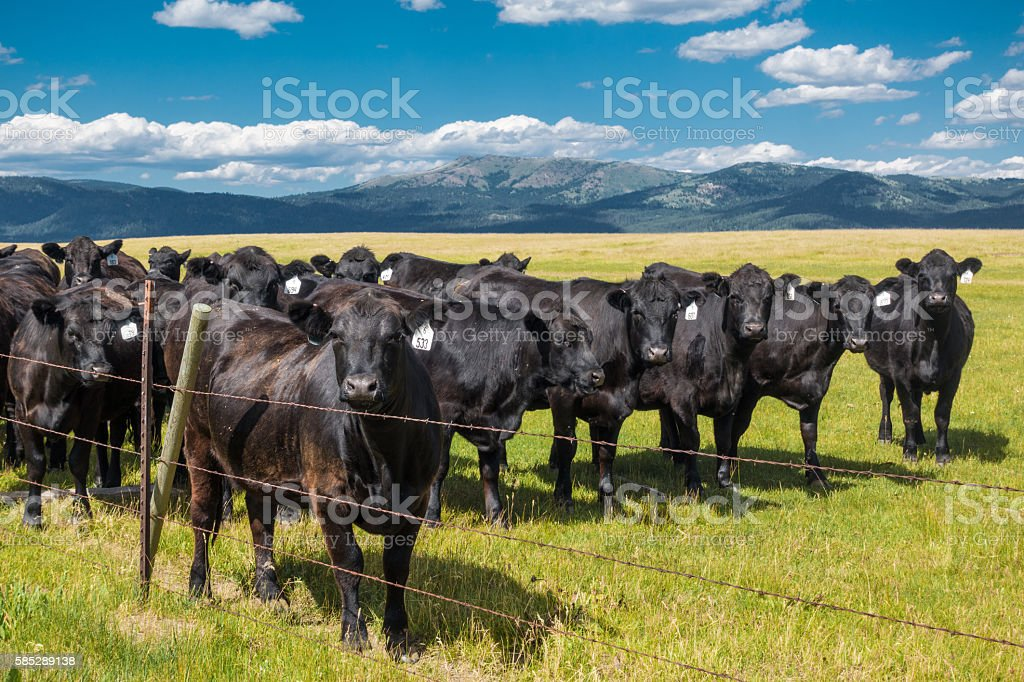 Cattle in Pasture behind Fence with Mountain Background stock photo