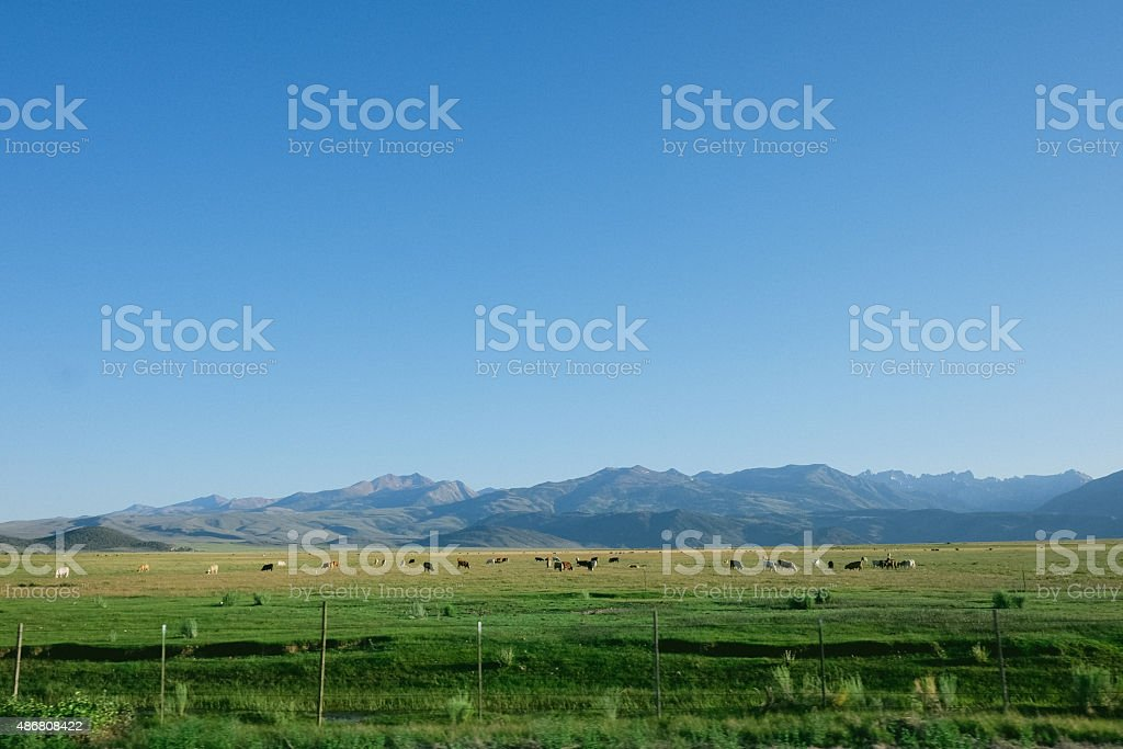 Cattle in Pasture stock photo