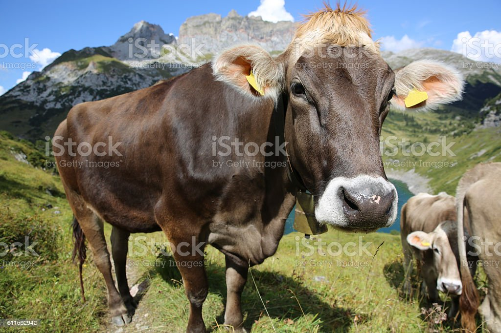 Cattle in Pennine Alps in Switzerland. Europe stock photo
