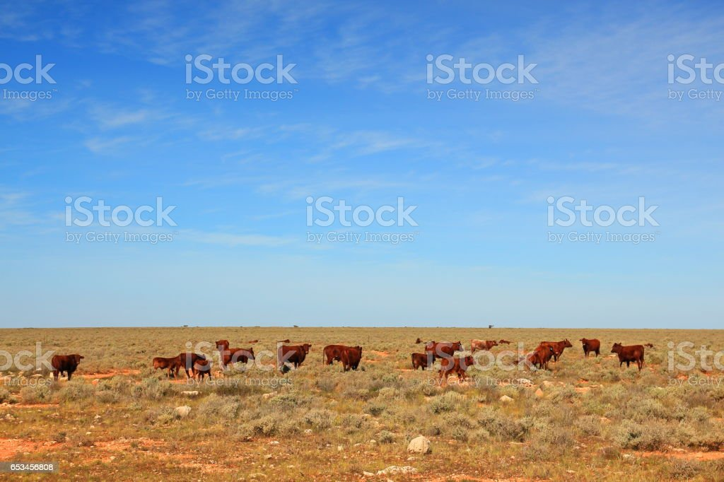 Cattle in remote Australia stock photo