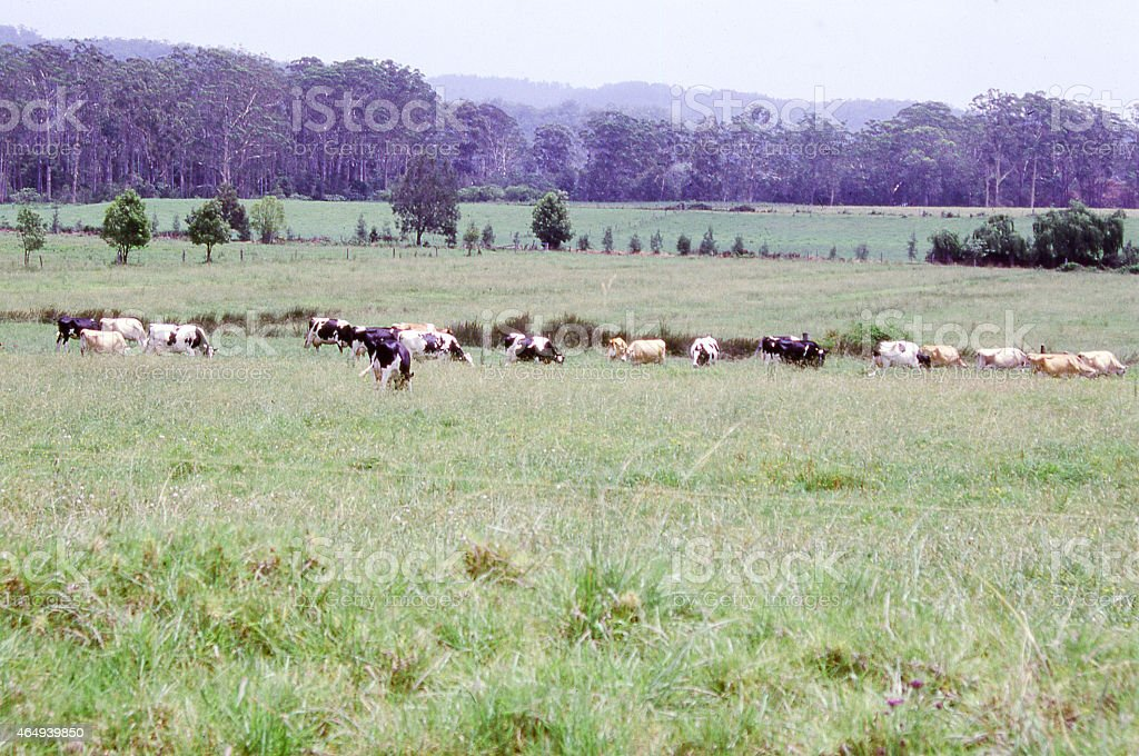 Cattle in tallgrass pastures with Eucalyptus Forest Hunter Valley Australia stock photo