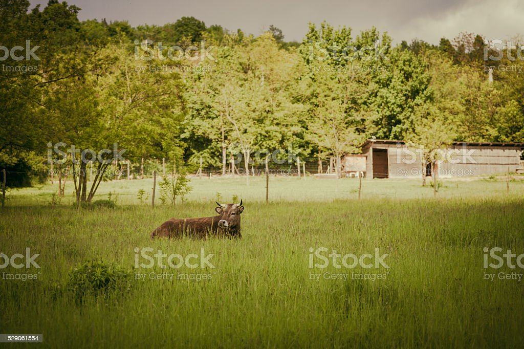 Cattle in the grass stock photo
