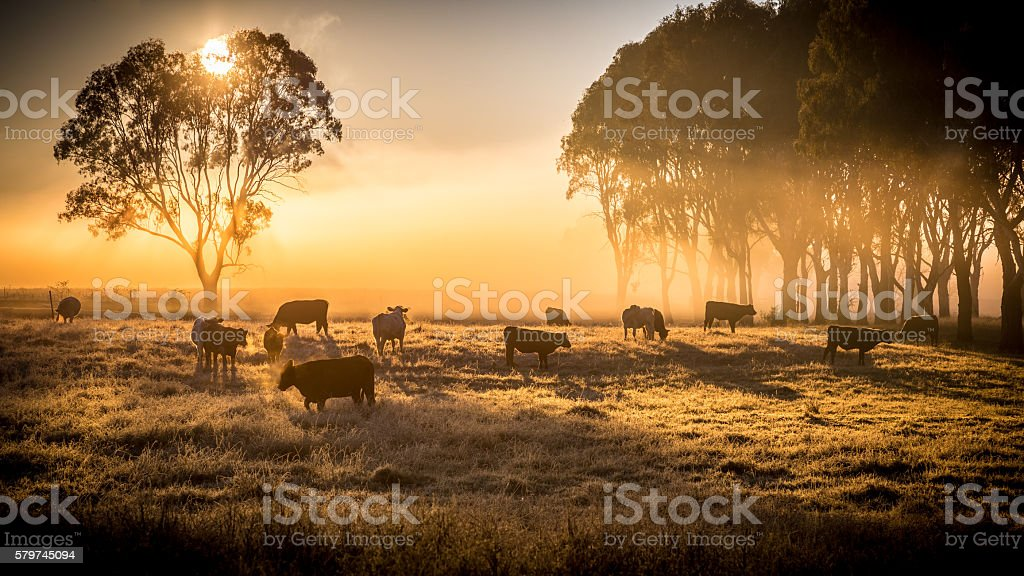 cattle in the morning stock photo