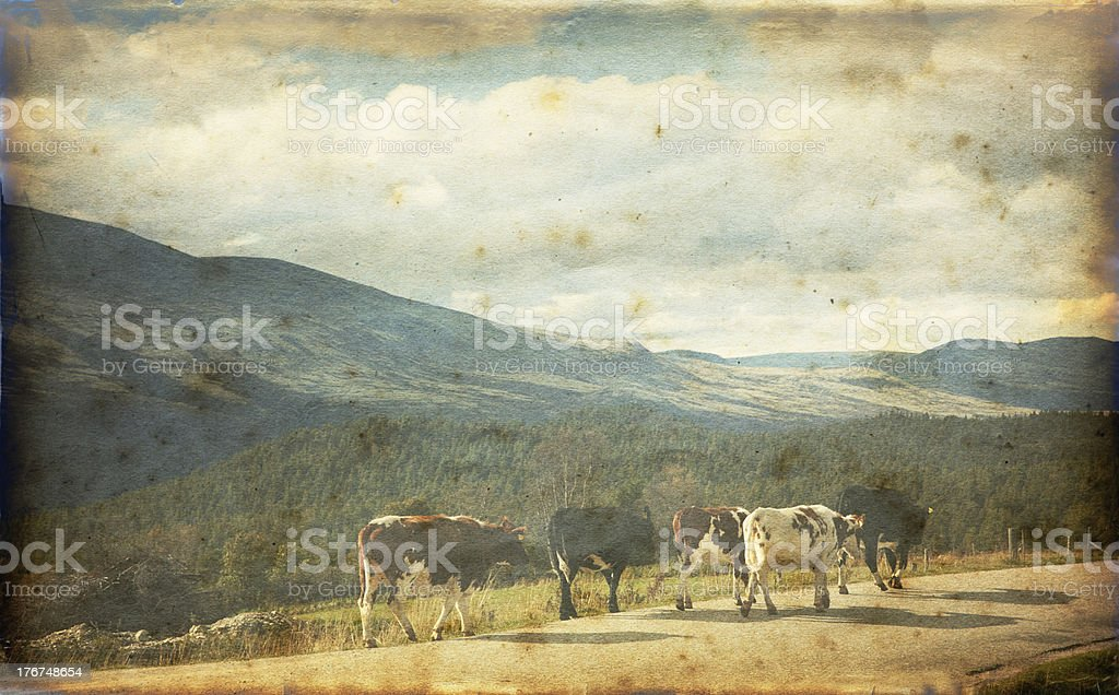 Cattle in the mountains. royalty-free stock photo