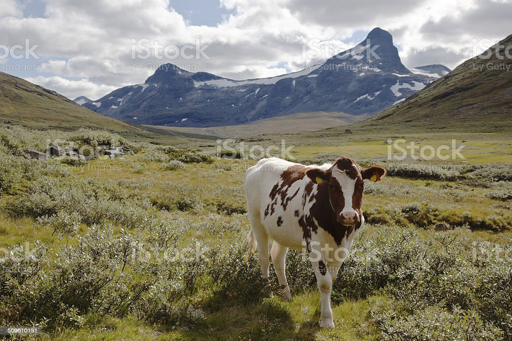 Cattle in the moutain. royalty-free stock photo