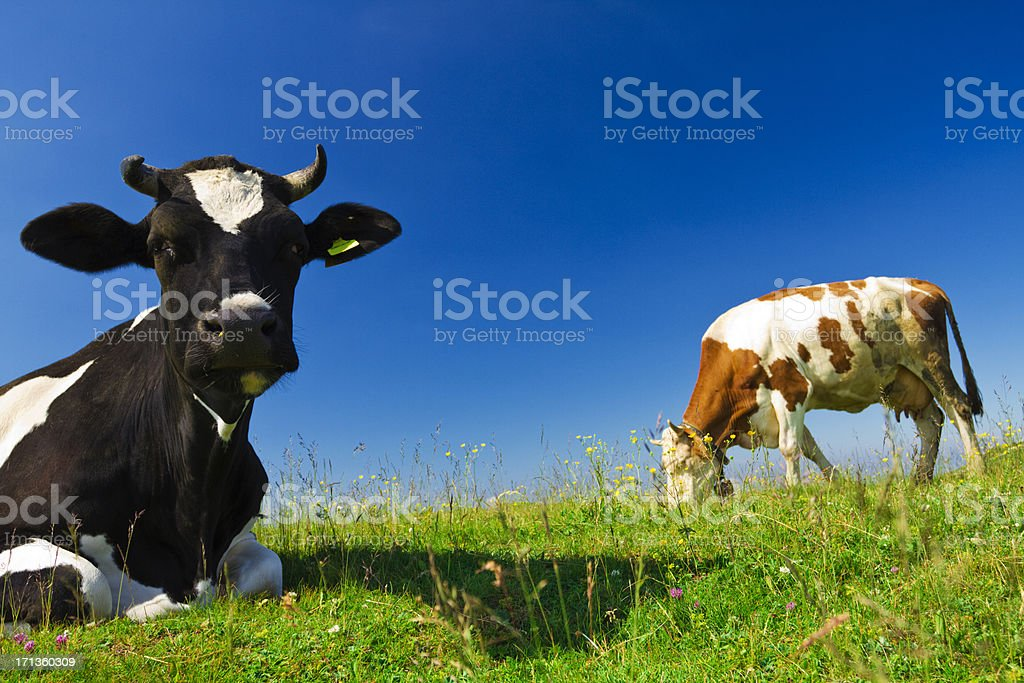 cattle in the nature stock photo