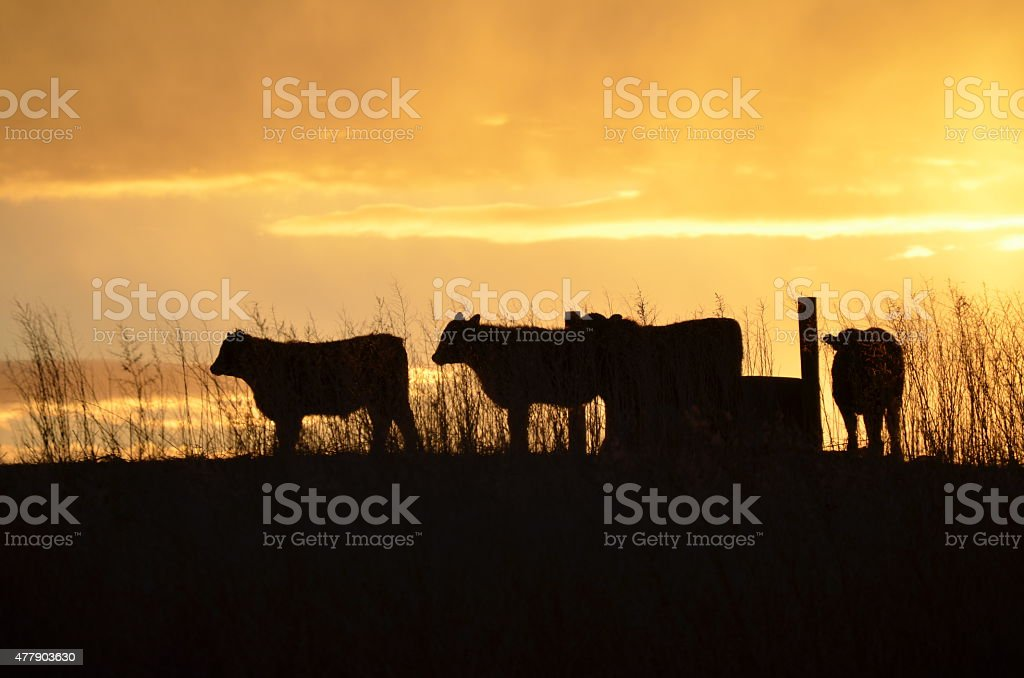Cattle in the sunset stock photo