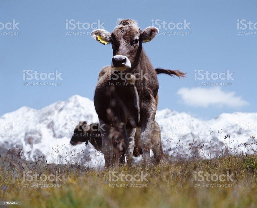Cattle, Jungfrau region, Switzerland. royalty-free stock photo