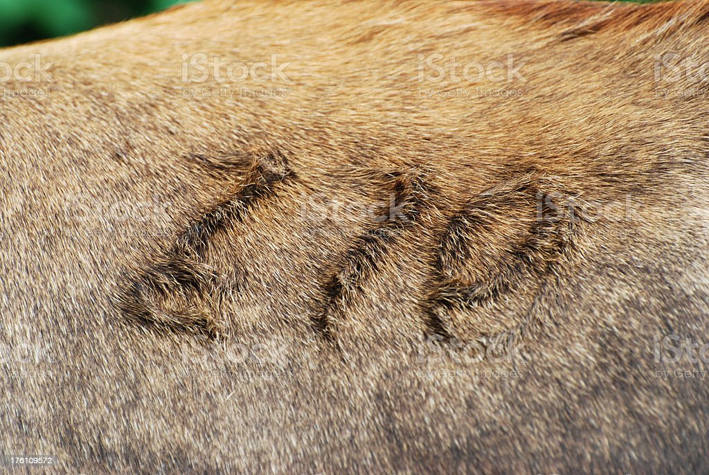 Cattle Mark royalty-free stock photo