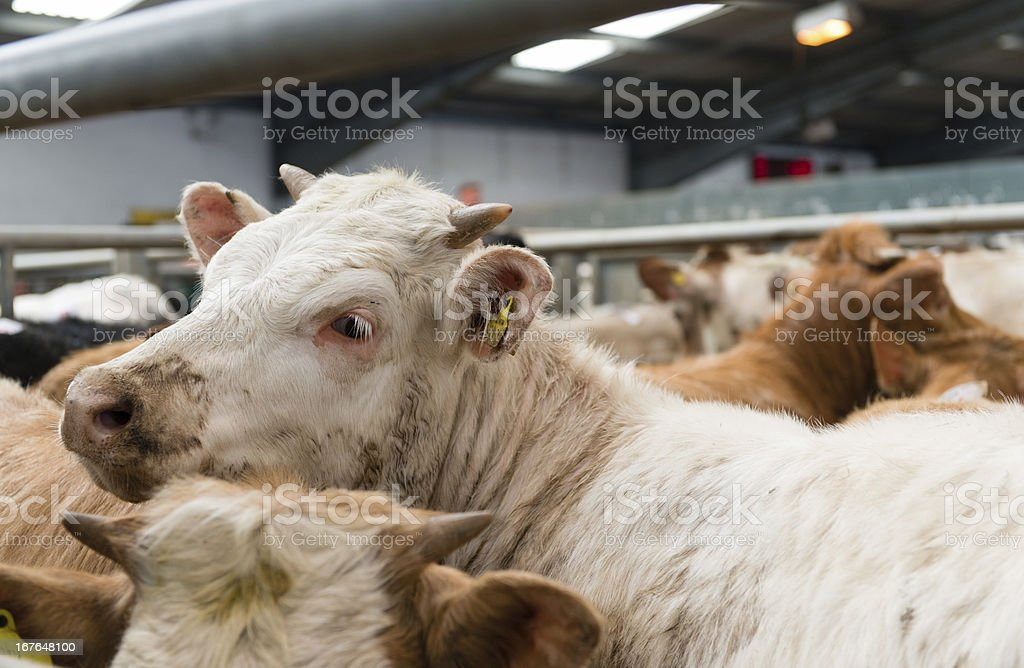 Cattle Market royalty-free stock photo