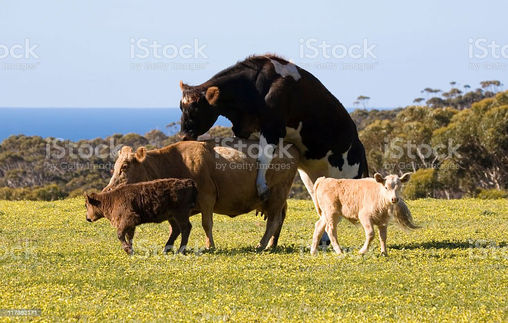 Cattle mating royalty-free stock photo