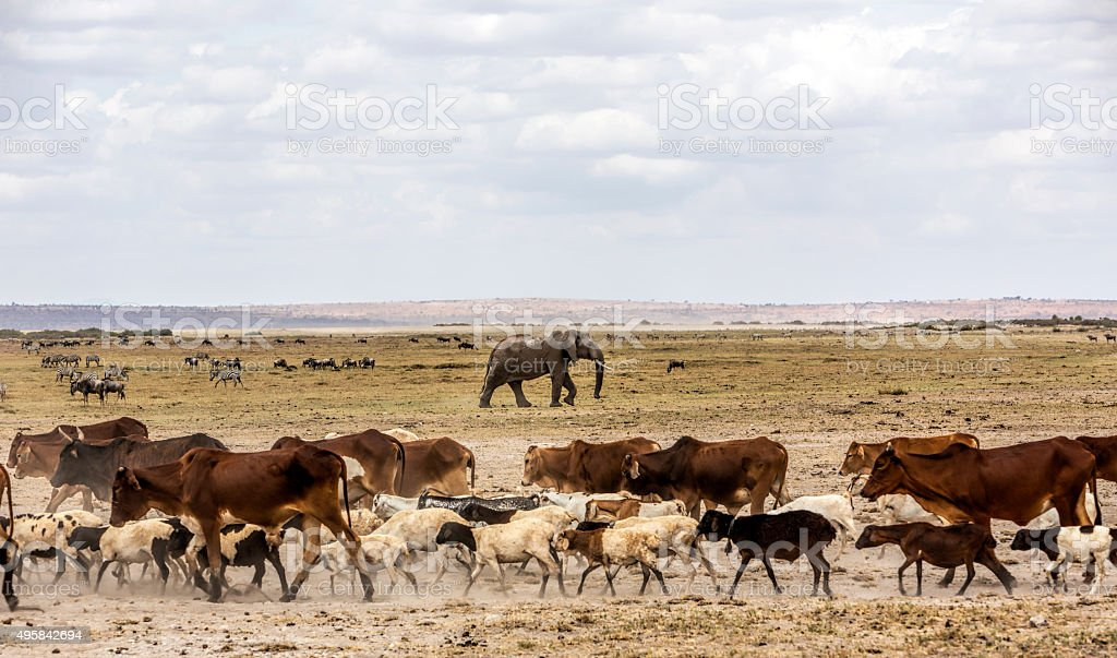 Cattle mixing with wildlife in Amboseli Game reserve, Kenya. stock photo