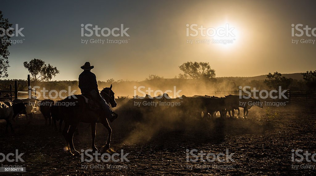 cattle mustering, stock photo