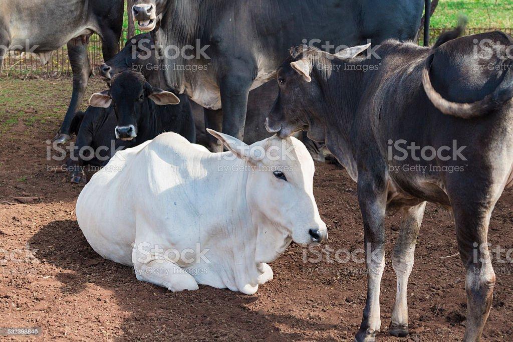 Cattle - Nelore cow on farm, brazil stock photo