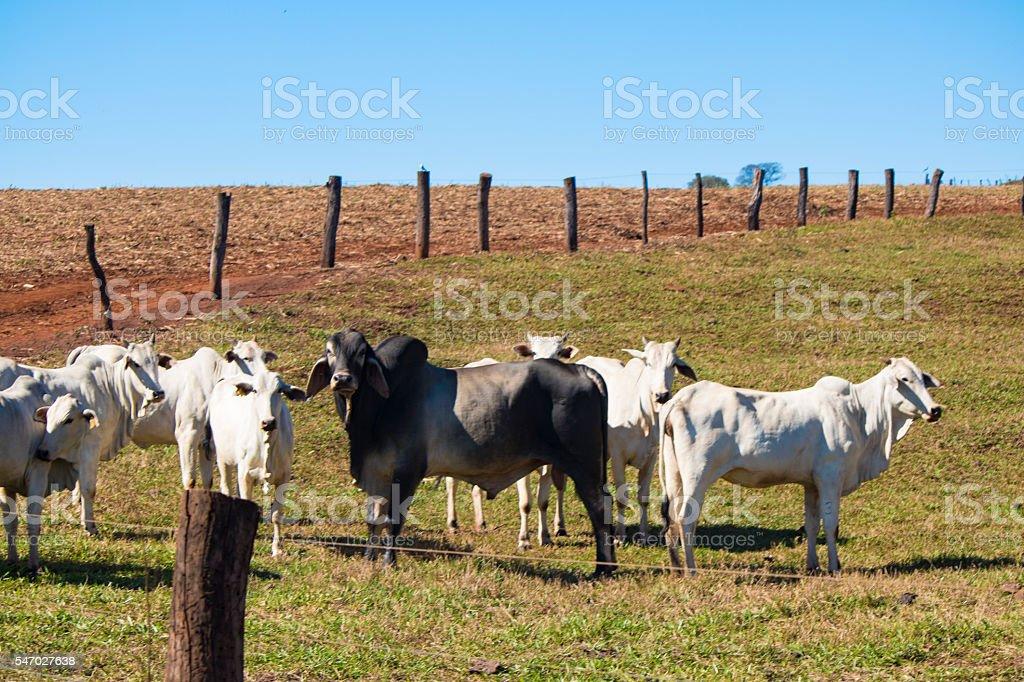 Cattle - Nelore on farm, concept image stock photo