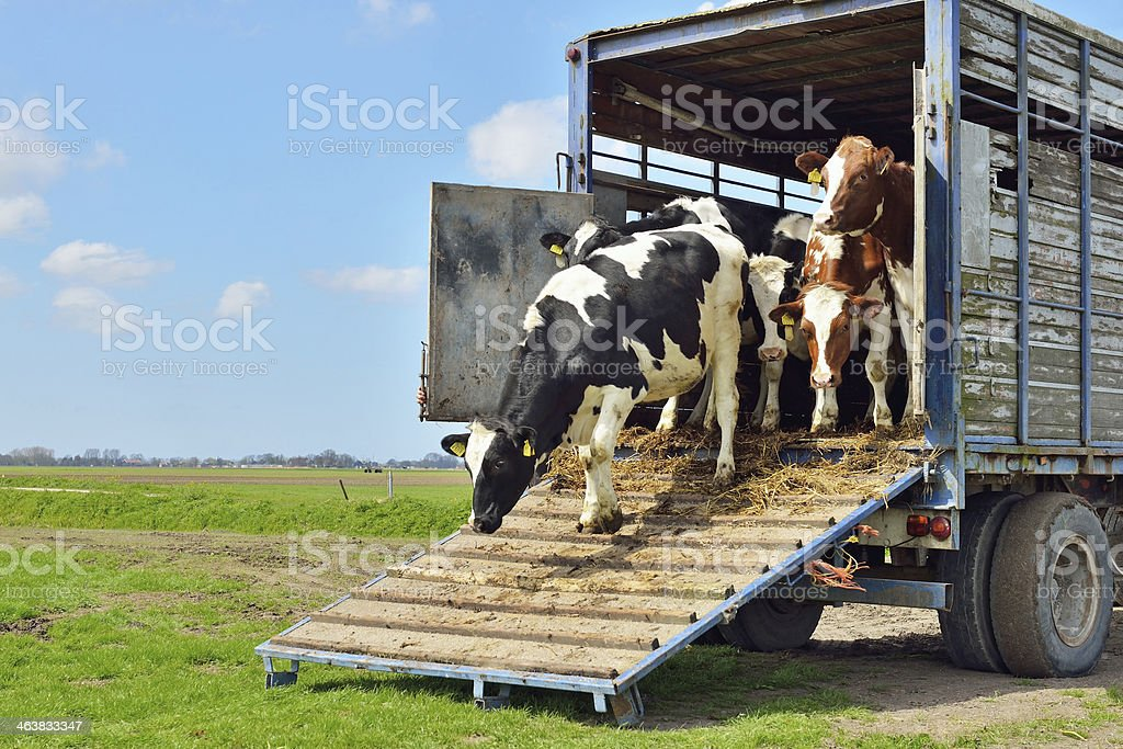 cattle of cows on transport to meadow stock photo